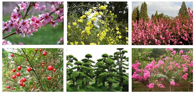 潢川大自然花木盆景基地.白腊造型树.女贞造型树