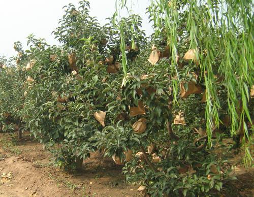 寒富苹果的果实,除供鲜食外,还适宜制作各种加工品,诸如苹果酒,苹果