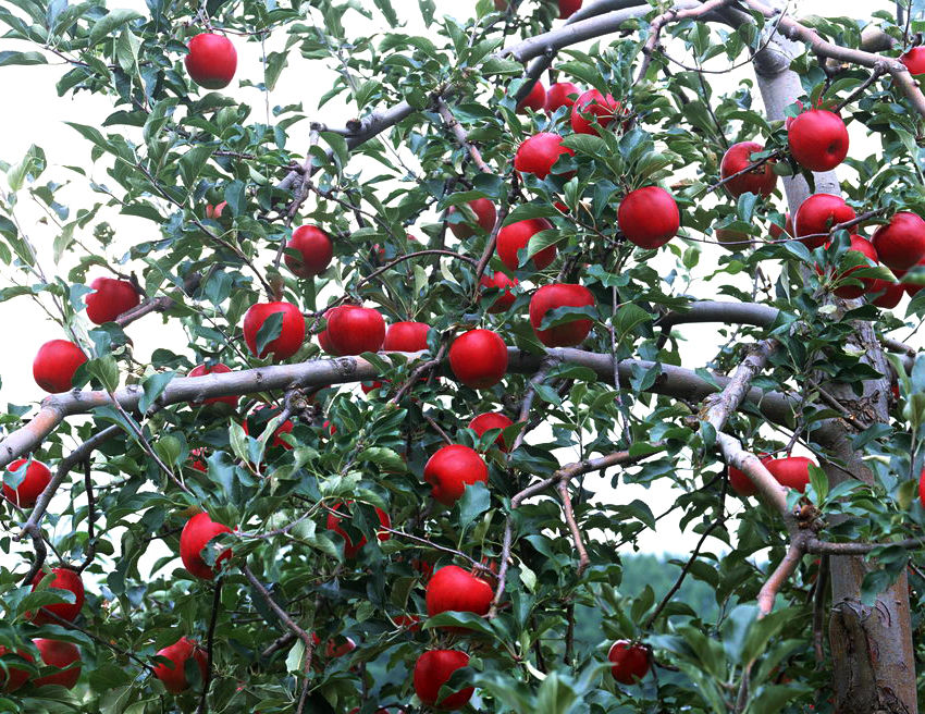 可以防治苹果树根腐病