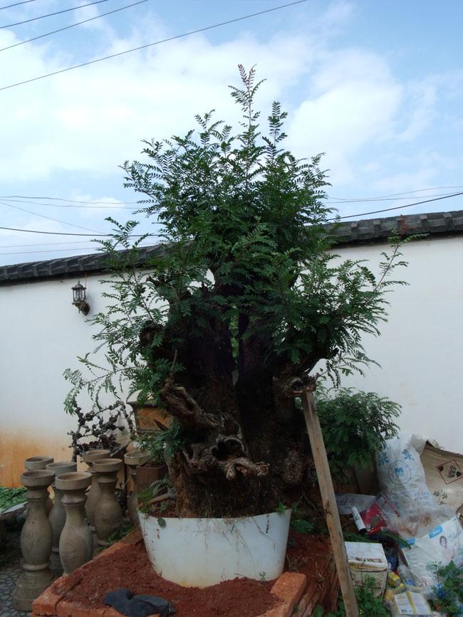 清香树_清香树,清香木盆景图片欣赏
