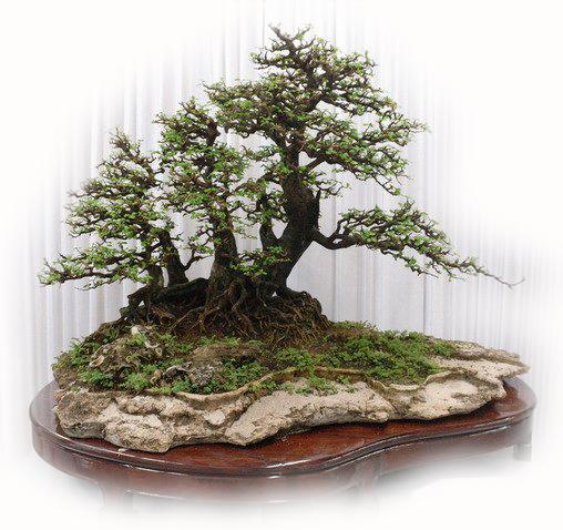 盆栽桂花树造型图片欣赏